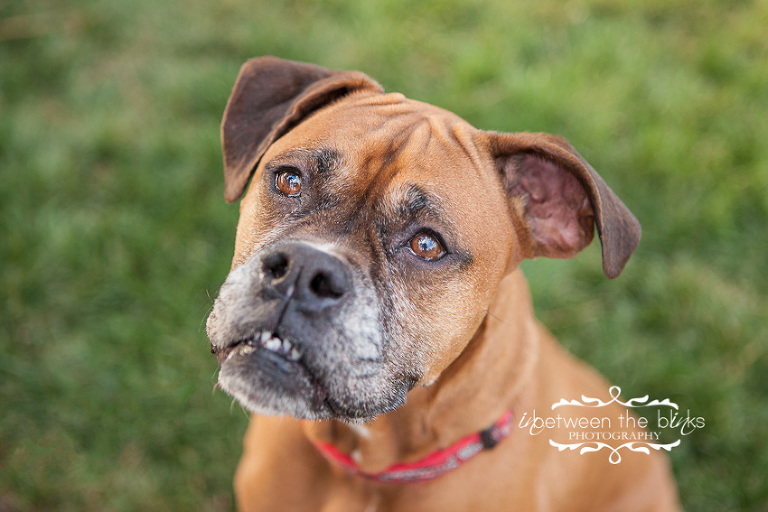 Tula the Boxer - Raleigh dog photographer - InBetween The Blinks